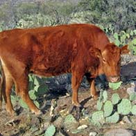 Cow eating prickly pear cactus